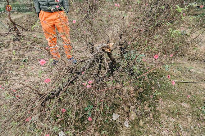 Gần 200 gốc đào của người dân Bắc Ninh bị chặt phá trong đêm: 'Tết năm nay còn chả có bánh chưng mà ăn' - Ảnh 9
