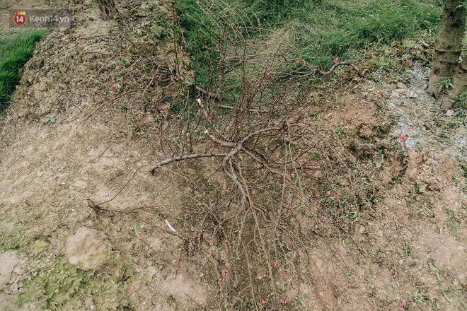 Gần 200 gốc đào của người dân Bắc Ninh bị chặt phá trong đêm: 'Tết năm nay còn chả có bánh chưng mà ăn' - Ảnh 12