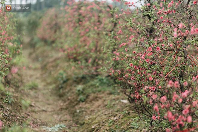 Gần 200 gốc đào của người dân Bắc Ninh bị chặt phá trong đêm: 'Tết năm nay còn chả có bánh chưng mà ăn' - Ảnh 2