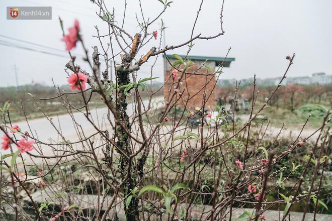 Gần 200 gốc đào của người dân Bắc Ninh bị chặt phá trong đêm: 'Tết năm nay còn chả có bánh chưng mà ăn' - Ảnh 15