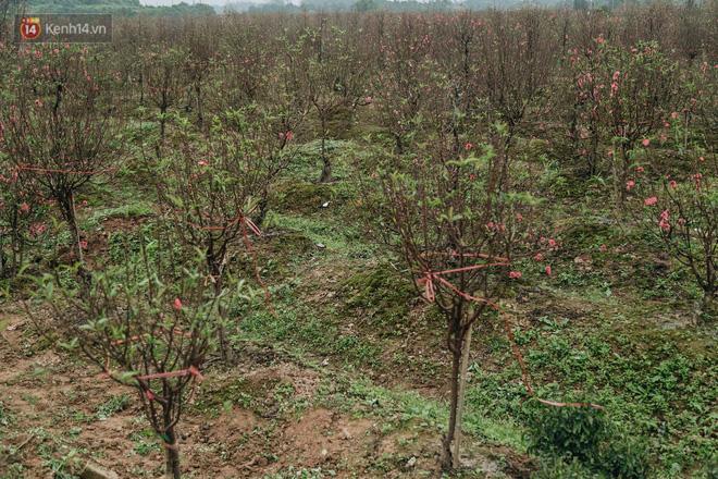 Gần 200 gốc đào của người dân Bắc Ninh bị chặt phá trong đêm: 'Tết năm nay còn chả có bánh chưng mà ăn' - Ảnh 3