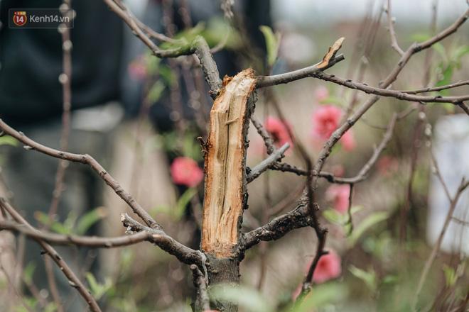 Gần 200 gốc đào của người dân Bắc Ninh bị chặt phá trong đêm: 'Tết năm nay còn chả có bánh chưng mà ăn' - Ảnh 4