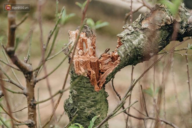 Gần 200 gốc đào của người dân Bắc Ninh bị chặt phá trong đêm: 'Tết năm nay còn chả có bánh chưng mà ăn' - Ảnh 5