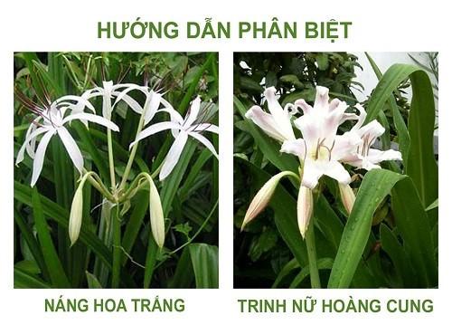 Cây trinh nữ hoàng cung dễ nhầm lẫn với cây náng hoa trắng
