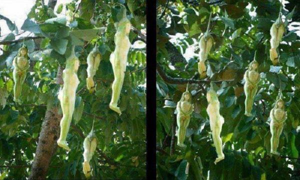 Kỳ lạ loài cây cho ra quả giống y hệt những thiếu nữ khỏa thân và lý giải của cư dân mạng khiến ai cũng phải gật gù công nhận - Ảnh 1