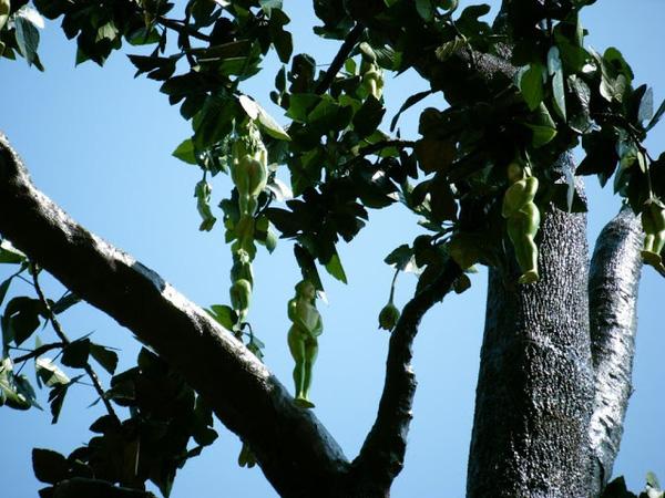Kỳ lạ loài cây cho ra quả giống y hệt những thiếu nữ khỏa thân và lý giải của cư dân mạng khiến ai cũng phải gật gù công nhận - Ảnh 5