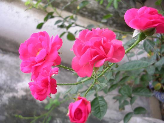 Ý nghĩa thực sự đằng sau những bông hoa hồng tỉ muội rực rỡ - Ảnh 2