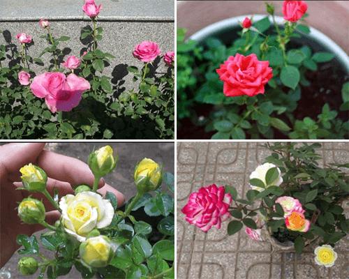 """Kỹ thuật trồng hoa hồng tỉ muội tại nhà dễ """"không tưởng"""" - Ảnh 1"""