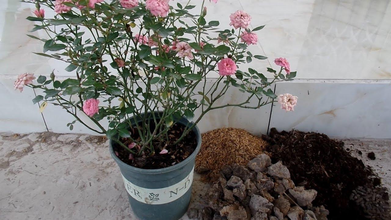 """Kỹ thuật trồng hoa hồng tỉ muội tại nhà dễ """"không tưởng"""" - Ảnh 2"""