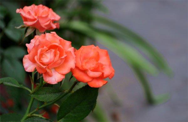 """Kỹ thuật trồng hoa hồng tỉ muội tại nhà dễ """"không tưởng"""" - Ảnh 4"""