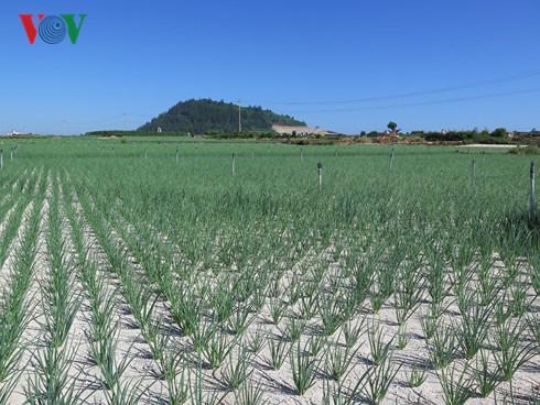 Sốt chuyển nhượng đất nông nghiệp ở Lý Sơn - Ảnh 1