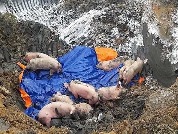 Lần đầu tiên, phát hiện 2 ổ dịch tả lợn châu Phi tại Việt Nam - Ảnh 1