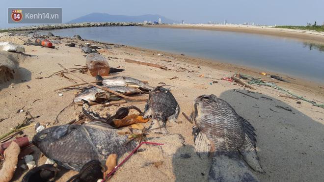Cá chết hàng loạt, bốc mùi hôi thối ở bãi biển Đà Nẵng do nước xả thải - Ảnh 1