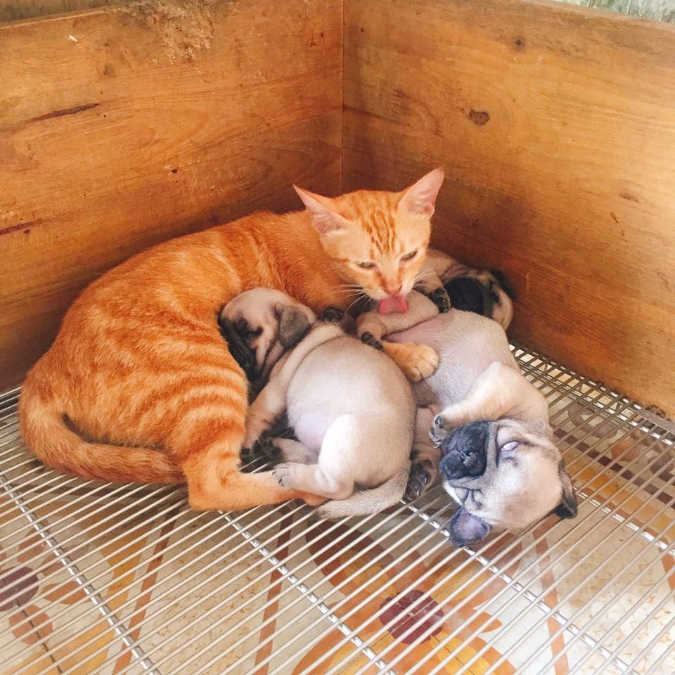 Xúc động cảnh mèo mẹ mất con lén vào cho bầy chó con bú khi chó mẹ đi chơi - Ảnh 2