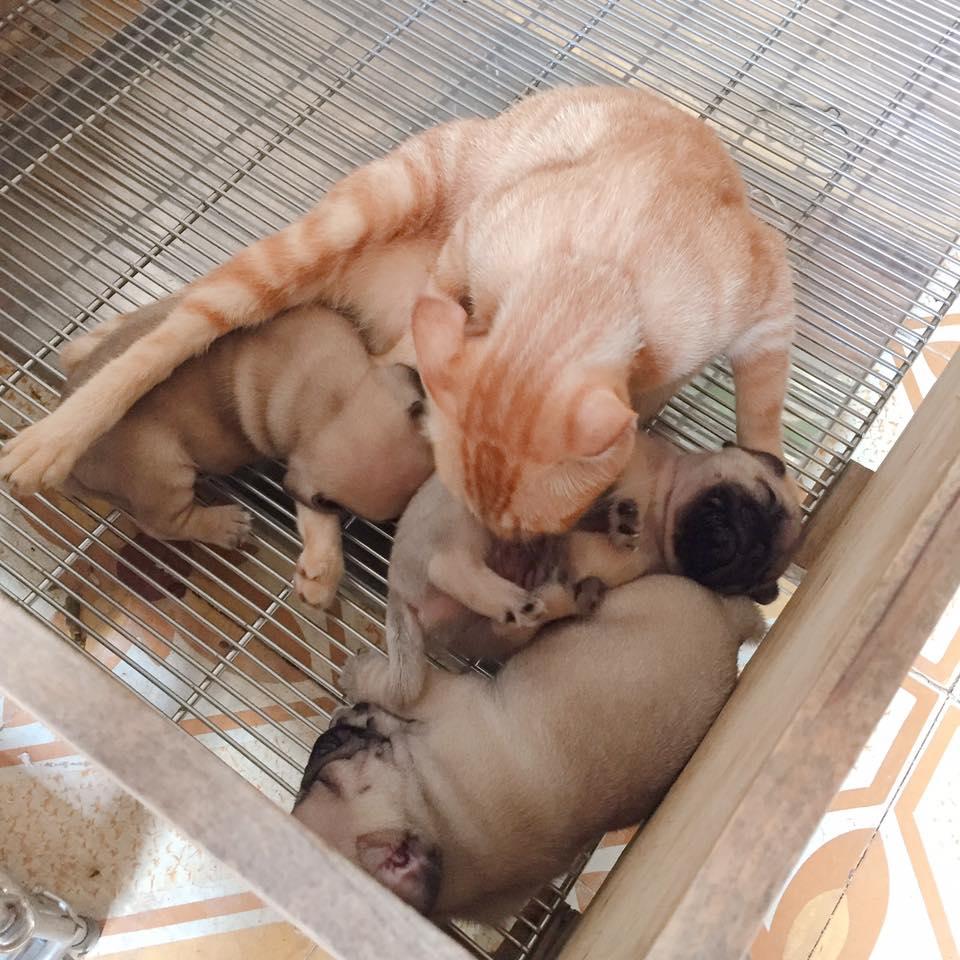 Xúc động cảnh mèo mẹ mất con lén vào cho bầy chó con bú khi chó mẹ đi chơi - Ảnh 3