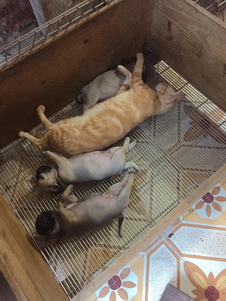Xúc động cảnh mèo mẹ mất con lén vào cho bầy chó con bú khi chó mẹ đi chơi - Ảnh 4