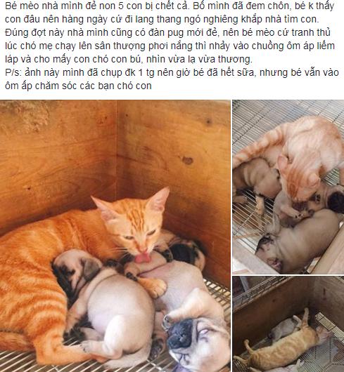 Xúc động cảnh mèo mẹ mất con lén vào cho bầy chó con bú khi chó mẹ đi chơi - Ảnh 1