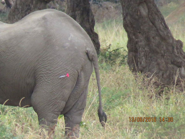 Kiểm tra lỗ thủng kỳ lạ trên đầu chú voi, bác sỹ thú y phát hiện sự thật đau buồn nhưng cũng bất ngờ vì cách hành xử của con vật - Ảnh 5