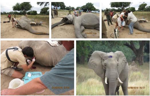Kiểm tra lỗ thủng kỳ lạ trên đầu chú voi, bác sỹ thú y phát hiện sự thật đau buồn nhưng cũng bất ngờ vì cách hành xử của con vật - Ảnh 6