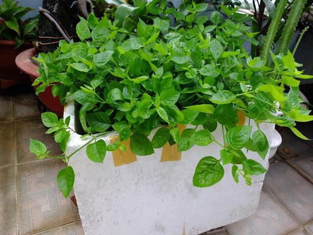 Học ngay cách trồng rau ngót Nhật bổ dưỡng cực đơn giản tại nhà, tha hồ thu hoạch mỏi tay  - Ảnh 3
