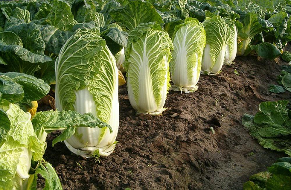 Ngày cuối tuần rảnh rỗi, lấy vài thùng xốp bỏ đi trồng cải thảo theo cách này, quanh năm có rau sạch ăn không hết - Ảnh 3
