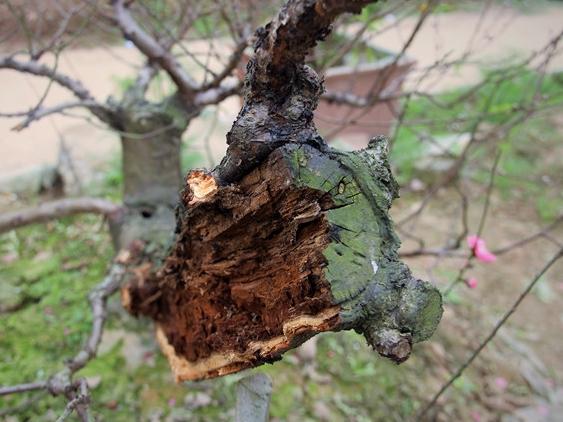 Vụ 147 gốc đào quý bị chặt phá trong đêm: Chủ vườn đào duy nhất còn nguyên vẹn uống thuốc sâu tự tử - Ảnh 2