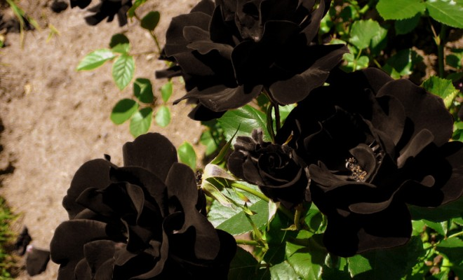 Hoa hồng đen có ý nghĩa gì mà lại bí ẩn và quý hiếm đến thế - Ảnh 1