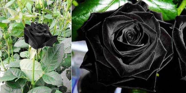 Hoa hồng đen có ý nghĩa gì mà lại bí ẩn và quý hiếm đến thế - Ảnh 2