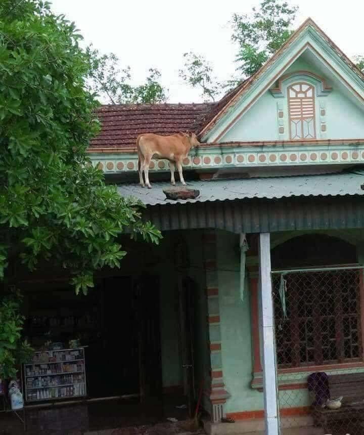 Chú bò lạc lên nóc nhà với khuôn mặt hoang mang khiến người ta phải cười nghiêng ngả 'đúng là ngơ ngơ như bò đội nón' - Ảnh 1