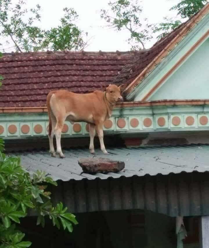 Chú bò lạc lên nóc nhà với khuôn mặt hoang mang khiến người ta phải cười nghiêng ngả 'đúng là ngơ ngơ như bò đội nón' - Ảnh 2