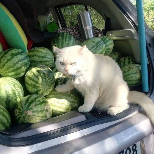 Ông mèo trông quầy dưa hấu bất ngờ nổi tiếng vì biểu cảm nhăn nhó khó chịu - Ảnh 2