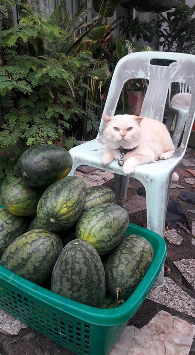 Ông mèo trông quầy dưa hấu bất ngờ nổi tiếng vì biểu cảm nhăn nhó khó chịu - Ảnh 3