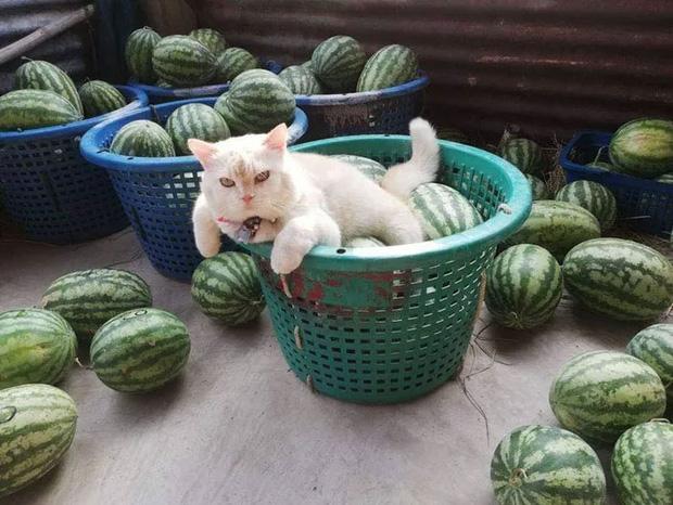 Ông mèo trông quầy dưa hấu bất ngờ nổi tiếng vì biểu cảm nhăn nhó khó chịu - Ảnh 7
