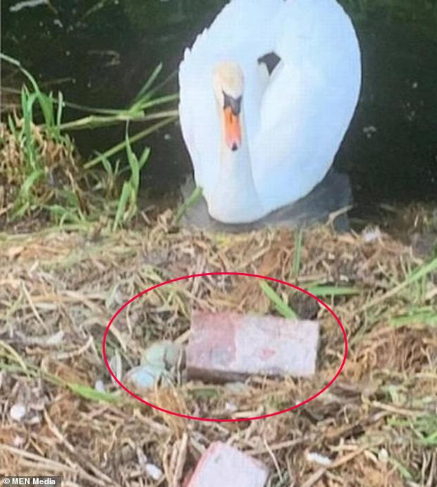 Tổ trứng bị nhóm thiếu niên ném vỡ nát, chim thiên nga mẹ gục chết ngay bên cạnh vì quá đau lòng - Ảnh 1
