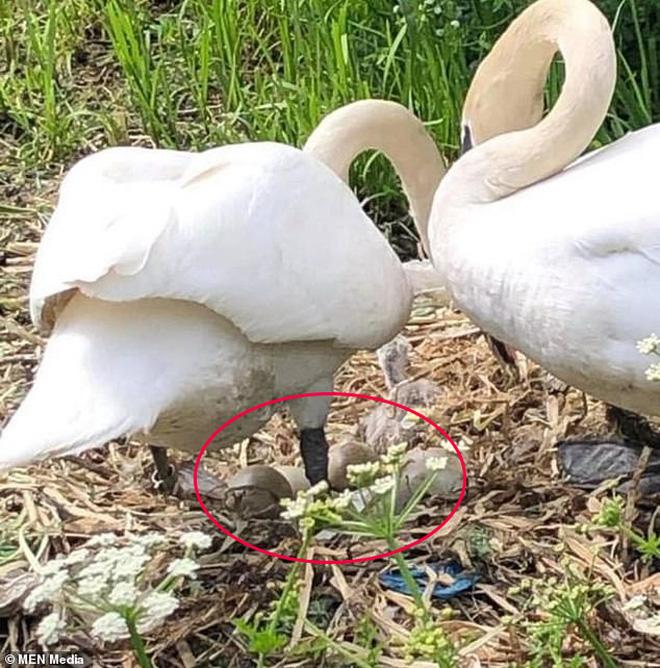 Tổ trứng bị nhóm thiếu niên ném vỡ nát, chim thiên nga mẹ gục chết ngay bên cạnh vì quá đau lòng - Ảnh 3