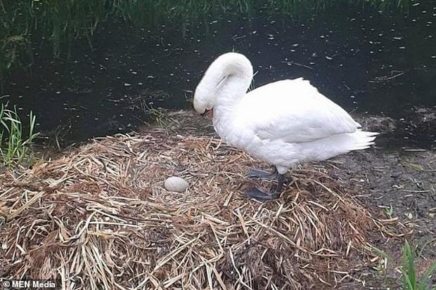 Tổ trứng bị nhóm thiếu niên ném vỡ nát, chim thiên nga mẹ gục chết ngay bên cạnh vì quá đau lòng - Ảnh 4