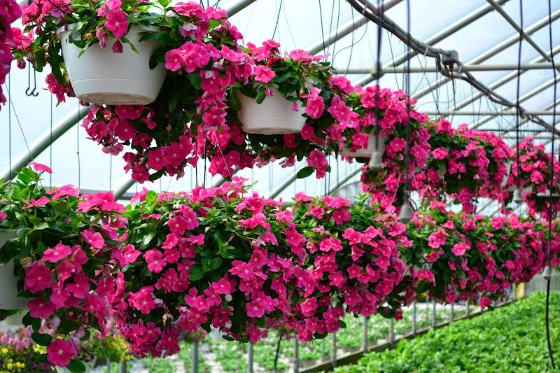 Tổng hợp các loại hoa dễ trồng quanh năm nở rực rỡ rất được ưa chuộng - Ảnh 3