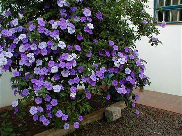 Kỹ thuật trồng và chăm sóc cây hoa nhài nhật cho ra hoa rực rỡ quanh năm - Ảnh 3