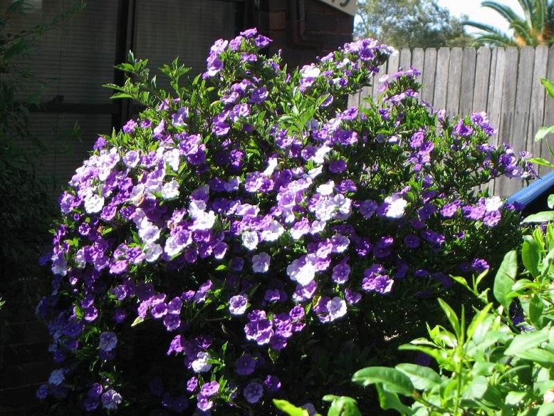 Kỹ thuật trồng và chăm sóc cây hoa nhài nhật cho ra hoa rực rỡ quanh năm - Ảnh 4