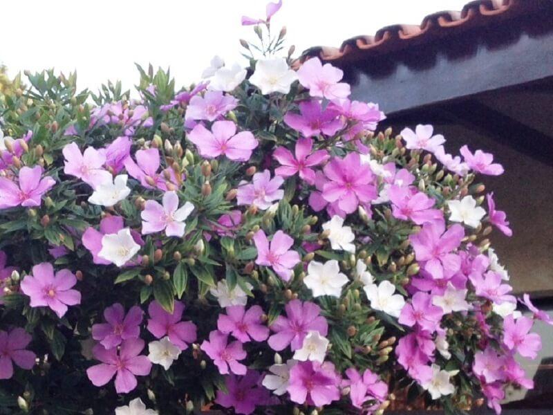 Kỹ thuật trồng và chăm sóc cây hoa nhài nhật cho ra hoa rực rỡ quanh năm - Ảnh 2