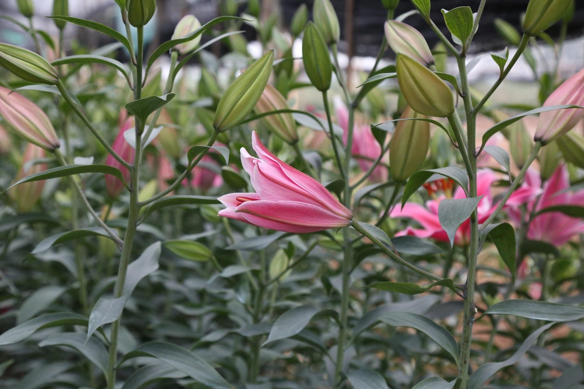 Khi đi chợ hoa nên lưu ý chọn những bông hoa ly nở to, căng và màu sắc tươi tắn