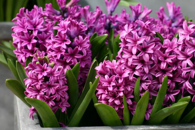 5 loại hoa được săn lùng nhiều nhất để làm đẹp nhà Tết Kỷ Hợi - Ảnh 3