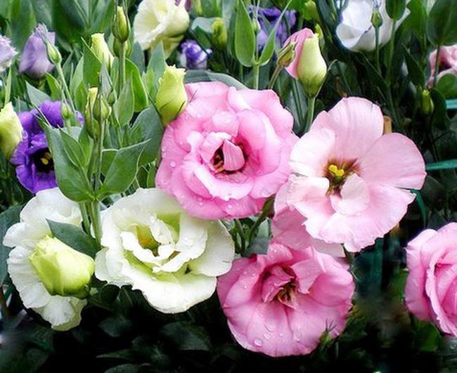 5 loại hoa được săn lùng nhiều nhất để làm đẹp nhà Tết Kỷ Hợi - Ảnh 5