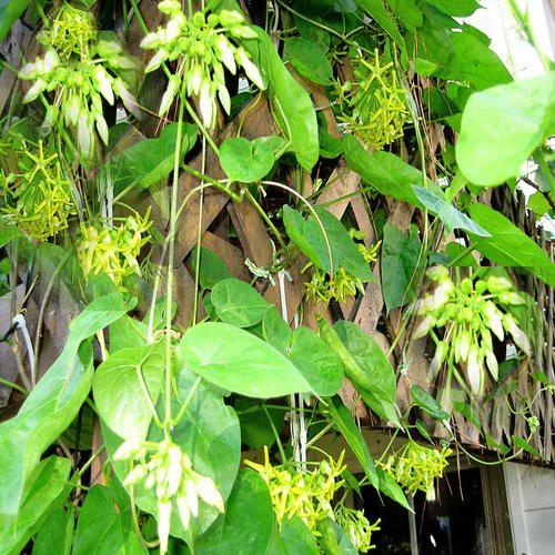 Là cây cảnh, lá và hoa của cây này làm thuốc dưỡng thận - bổ dương, phòng ung thư rẻ tiền - Ảnh 1