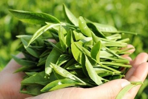 Chẳng cần nấm linh chi, nấu lá này uống hàng ngày có thể ngừa ung thư - Ảnh 1