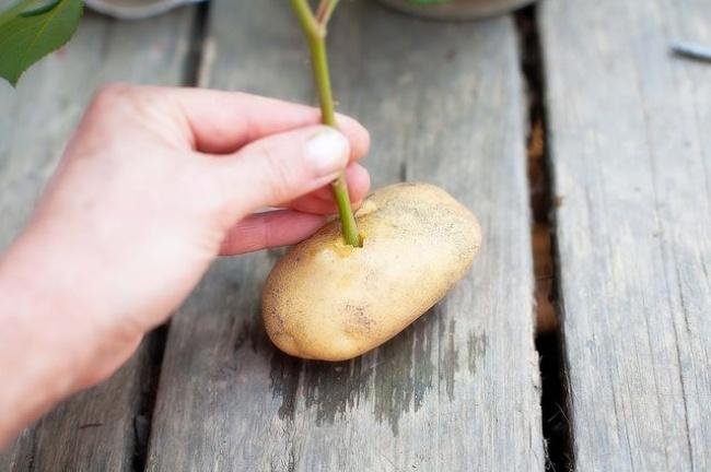 Cắm cành chanh vào củ khoai tây: Cách trồng lạ đời nhưng cho cây sai trĩu quả chị em thi nhau làm theo - Ảnh 3