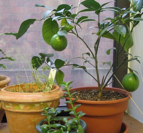 Cắm cành chanh vào củ khoai tây: Cách trồng lạ đời nhưng cho cây sai trĩu quả chị em thi nhau làm theo - Ảnh 4
