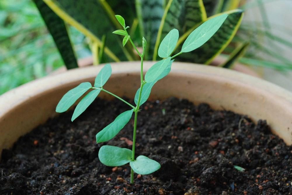 Cách trồng hoa đậu biếc xanh tươi tốt tại nhà - Ảnh 3