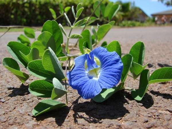 Cách trồng hoa đậu biếc xanh tươi tốt tại nhà - Ảnh 2
