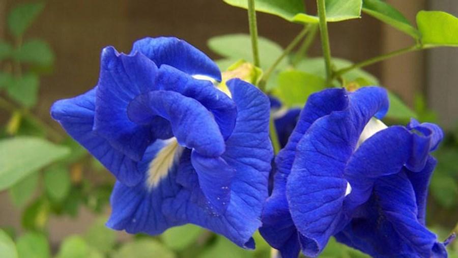 Cách trồng hoa đậu biếc xanh tươi tốt tại nhà - Ảnh 4